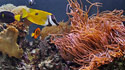 Poisson clown et Anemone